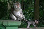300px-Ubud_Monkeys