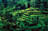 Bali-Ubud-rice-fields